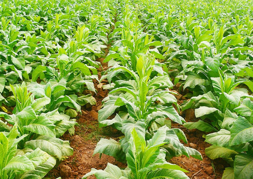 Tupakka ja vihreämpi tulevaisuus